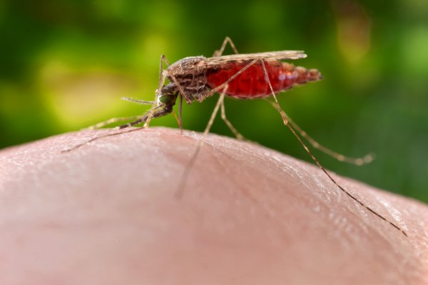 cdc-credit-james_gathany-feeding_female_anopheles_merus_mosquito.small_.jpg